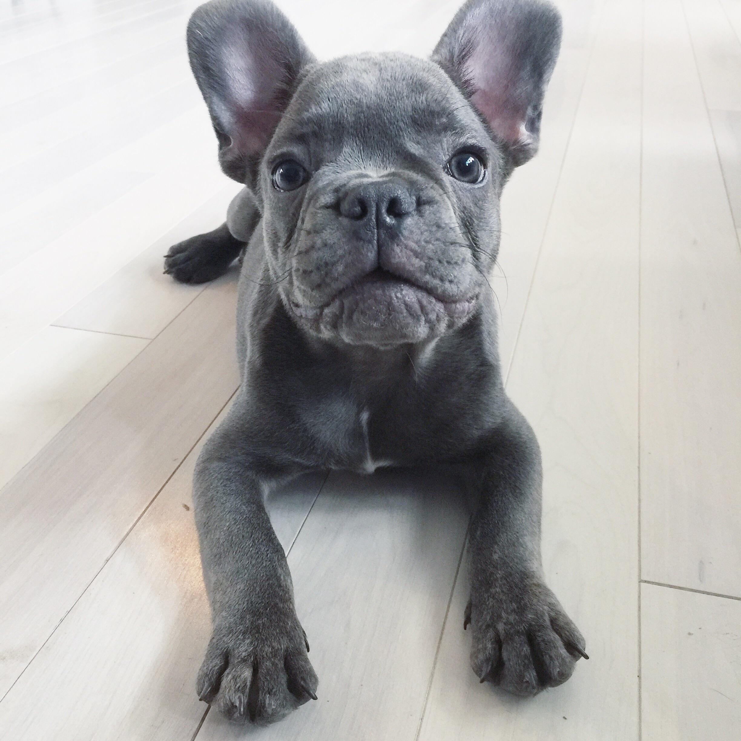 The Violent Nature Of French Bull Dog Puppies